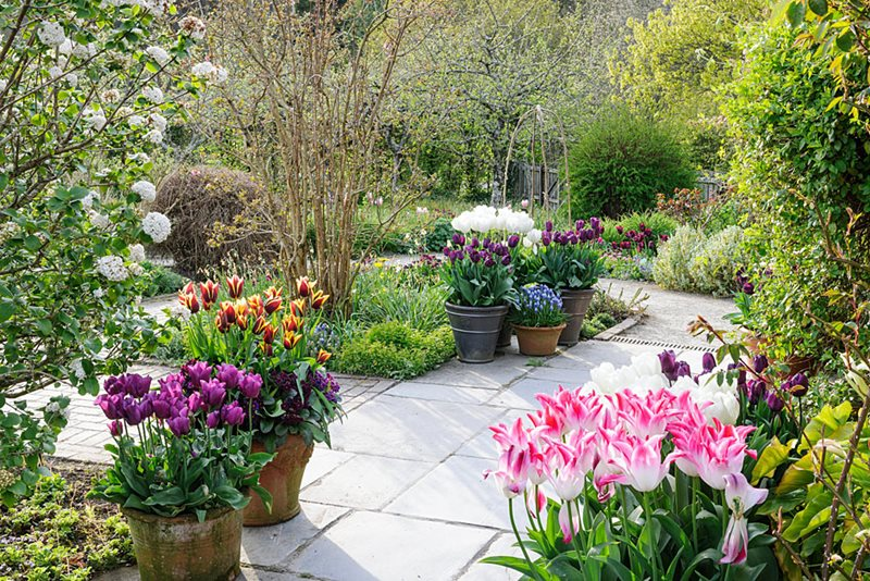 Tulips in the Cottage Garden at RHS Rosemoor