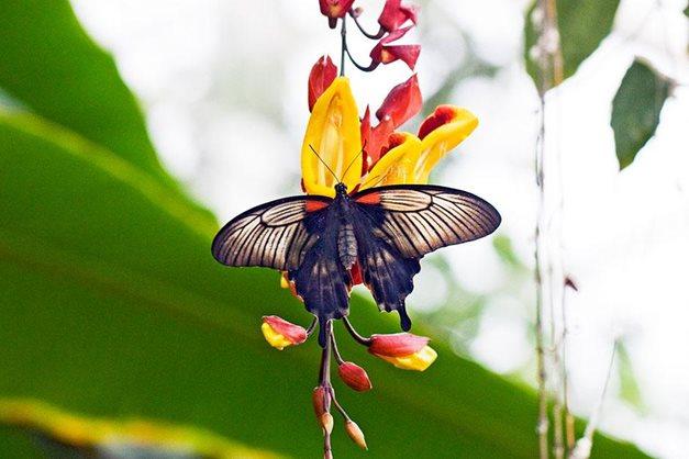 Asian-Swallowtail-butterfly,-cred-Julian-Weigall_940x627.jpg?width=627&height=418