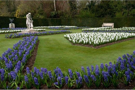 Hyacinths at Anglesey Abbey