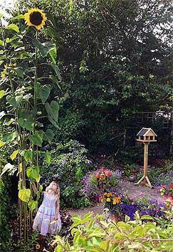 Sunflower 'Giraffe' can reach 5+m in height.