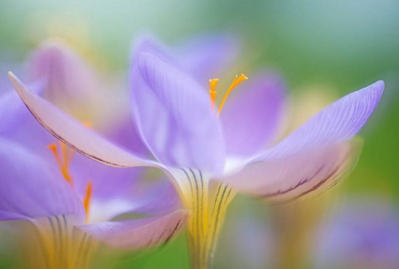 Crocus imperati by Sue Bishop, one of 2013's finalists