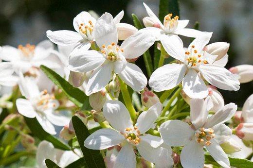 See graham rices top 10 fragrant wall shrubs and climbers rhs choisya aztec pearl mightylinksfo