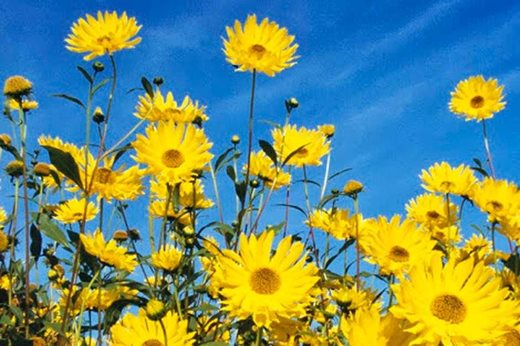 See the rhs top 10 best agm yellow daisies rhs gardening helianthus monarch mightylinksfo