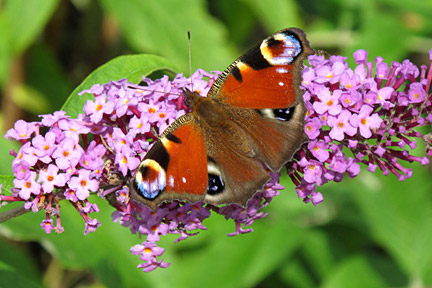 Peacock butterfly on buddleja