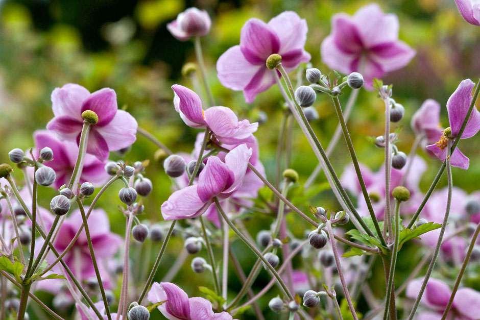 Rhs gardening top 10 late flowering perennials rhs gardening see also mightylinksfo