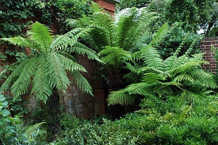 Tree ferns / RHS Gardening