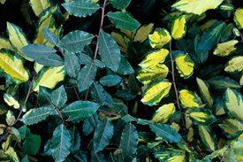 reversionelaeagnus3x2 June gardening tips - Trees & Shrubs