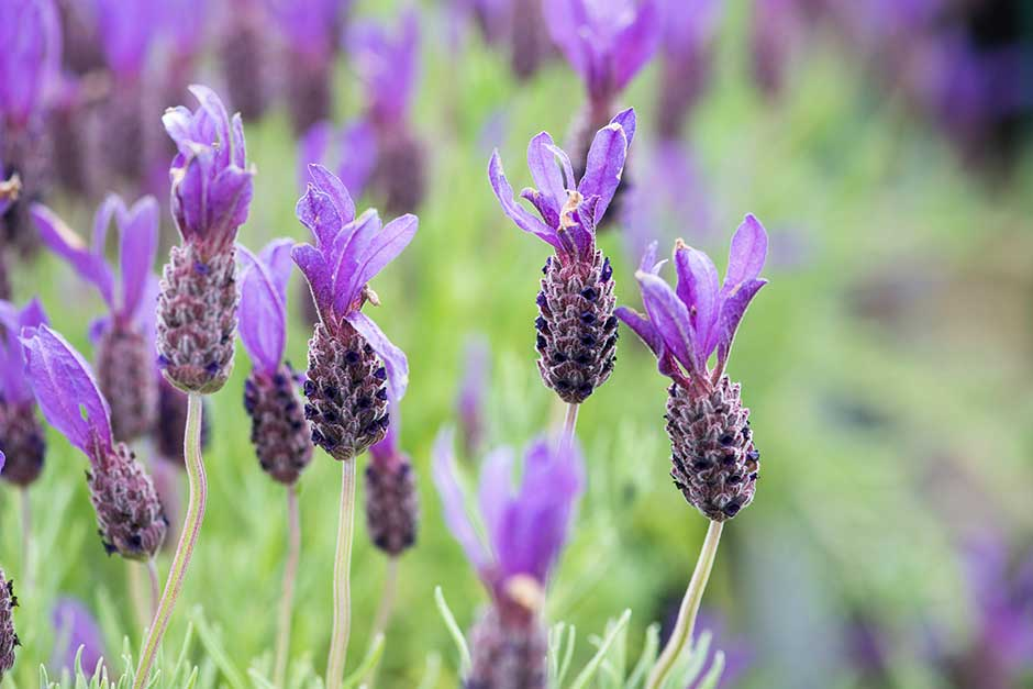How To Grow Lavender Rhs Gardening