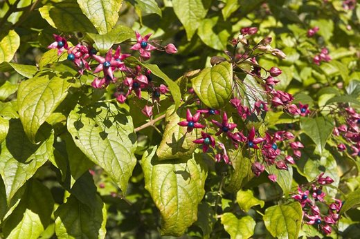 Bring Colour To Your Garden With Berrying Shrubs Rhs Gardening