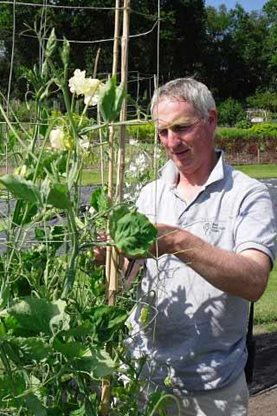 RHS Wisley's Ian Tocher attending his sweet peas