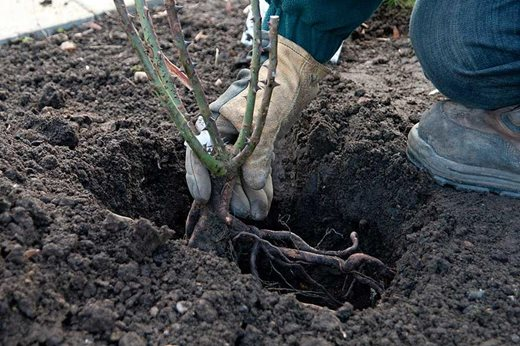 Planting a bare root rose