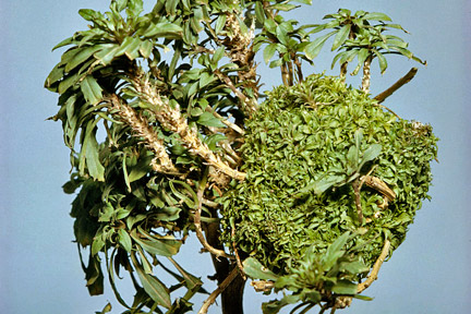 Leafy gall on wallflower. Image: RHS, Horticultural Science