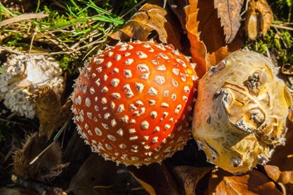 Fly agaric by the Log Maze