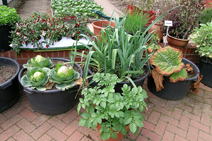 Vegetables growing in containers, including cabbage, leeks and potatoes. Credit: RHS/Advisory.
