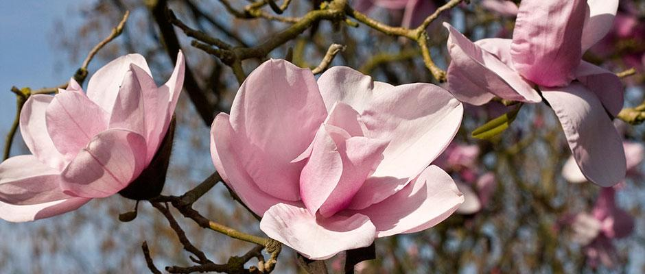 Close-up of magnolia blooms