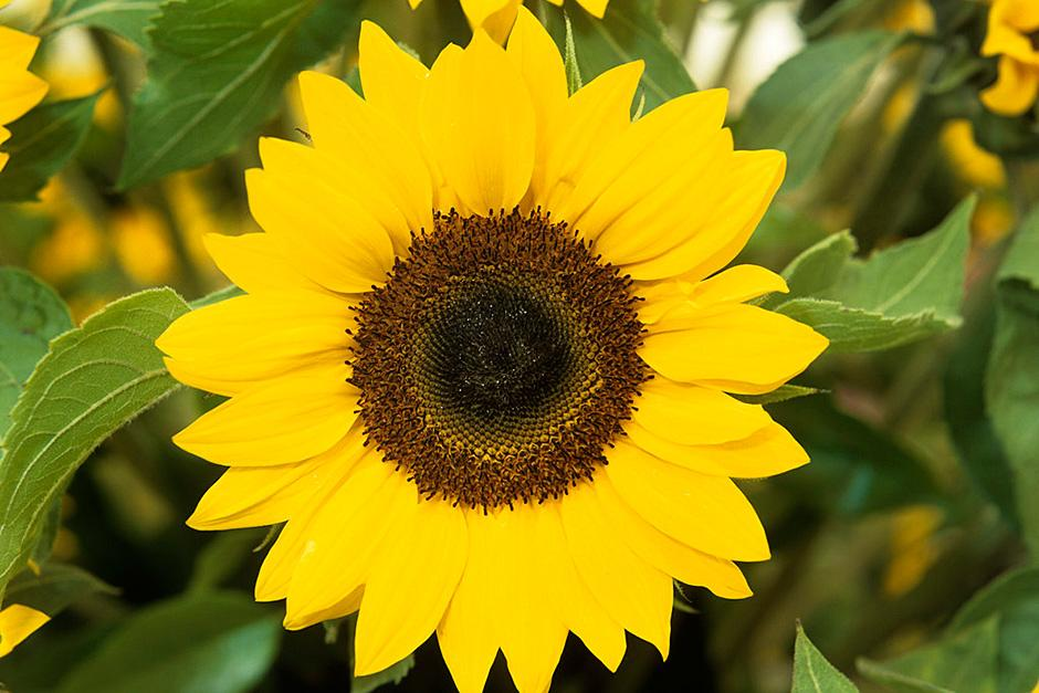 plants for kids  sunflowers / rhs gardening, Beautiful flower