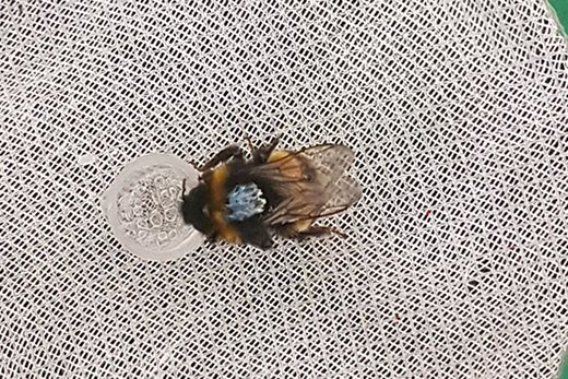 A painted bee, taking part in an experiment