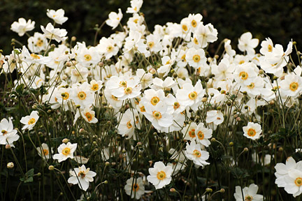 White flowers such Anemone brighten up shade