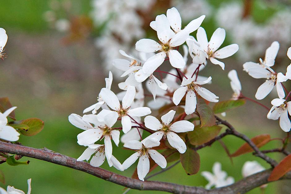Spring flowers of Amelanchier 'Snowflakes'