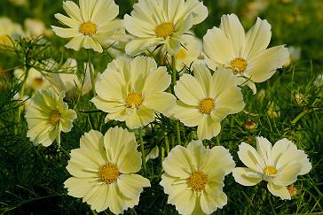 Find out whats hot with graham rices new plants blog rhs gardening cosmos xanthos mightylinksfo