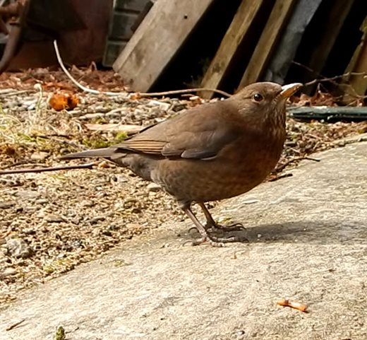Lady blackbird insists on being first to eat