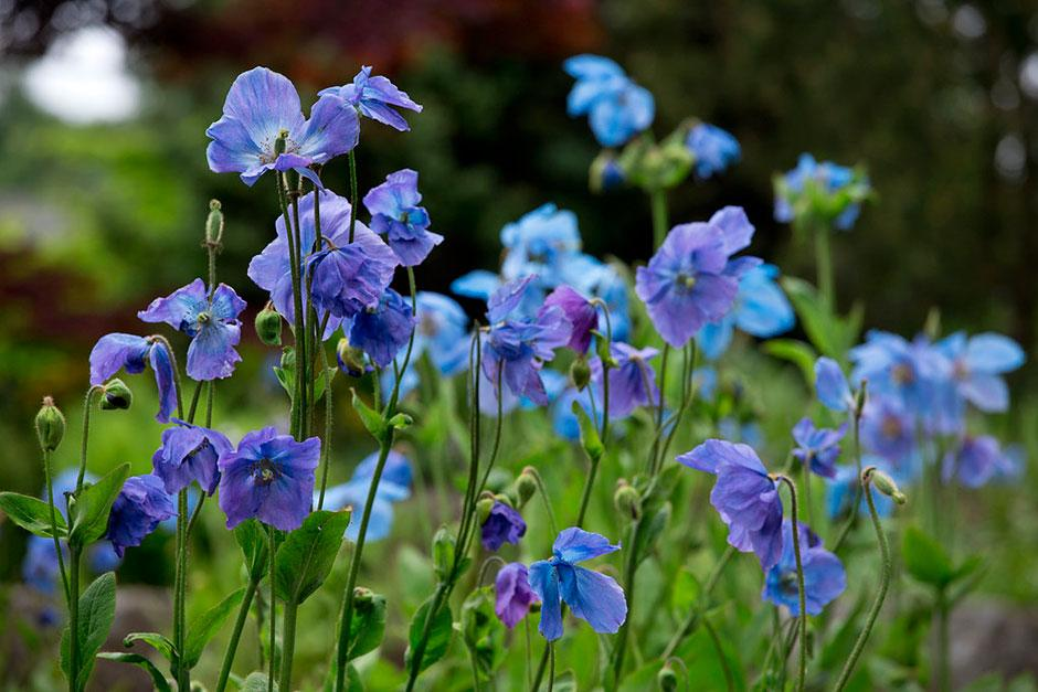 Meconopsis at Harlow Carr