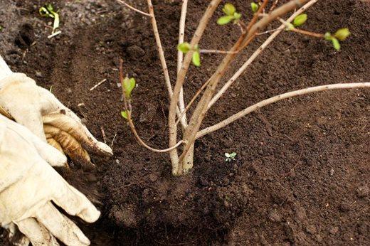 Shrub planting