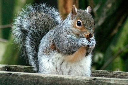 Grey squirrels / RHS Gardening