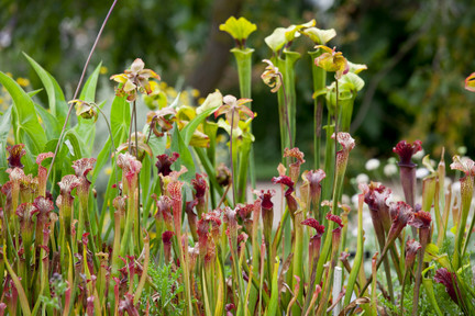 cultivating carnivorous plants