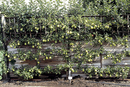 Growing pear 'Williams Bon Chretien' as an espalier. Image: Tim Sandall/RHS