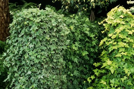 Hedera (ivy) / RHS Gardening on common plants used in baskets florist, common house plant problems, common household plants, round leaves with ivy, variegated ivy, common names of indoor plants, hedera glacier ivy,
