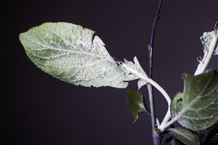 Plum Tree Bugs Pictures