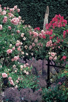 Roses (Rosa) / RHS Gardening
