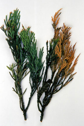 Conifer aphids / RHS Gardening