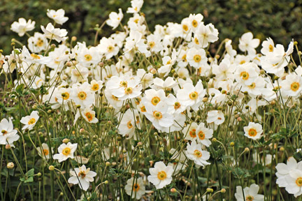 Japanese anemones can become invasive as times. Credit: RHS/John Trenholm.