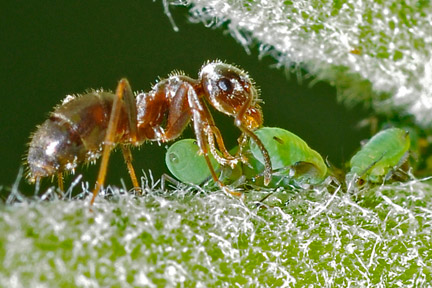 An ant collecting honeydew from aphids. Credit: RHS/Mike Ballard.