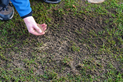 Reseeding bare patches in a lawn. Credit: RHS/Advisory.