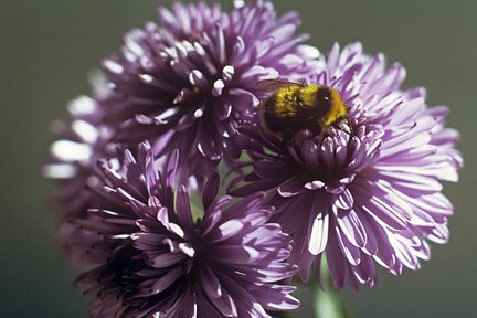A bumblebee (Bombus jonellus) looking for food on an aster. Credit: RHS/Entomology.