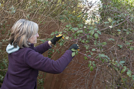 Pulling out bramble stem