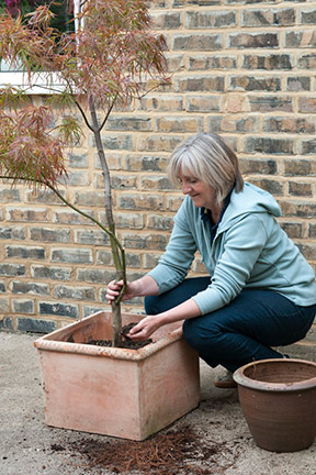Planting an Acer tree in a container