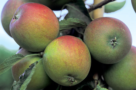 Apple 'Cox' trained as a cordon. Image: Tim Sandall/RHS