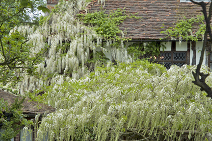 Wisteria growing over house wall.