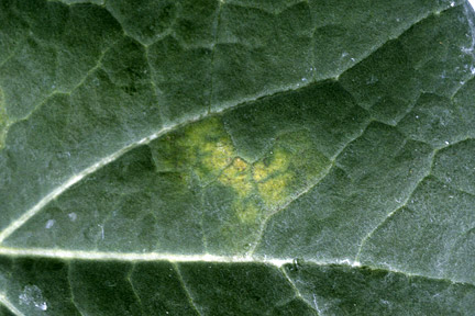 Brassica downy mildew. Credit: RHS, Horticultural Science
