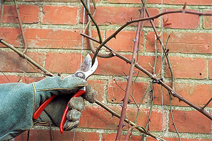 Pruning a climbing rose growing on a wall.