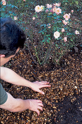 Using bark as a mulch to reduce water loss around a rose. Image: RHS/Tim Sandall