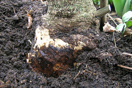 Phytophthora root rot on Wisteria