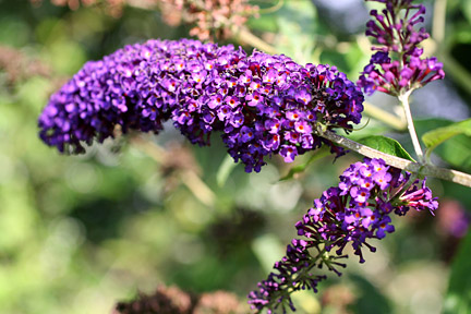 Buddleja is deer resistant.
