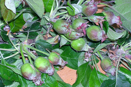 Sometimes apples need to be thinned to avoid overcropping. Image: RHS