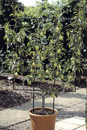 Apples And Pears Summer Pruning Rhs Gardening
