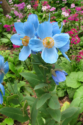 Meconopsis  'Willie Duncan'
